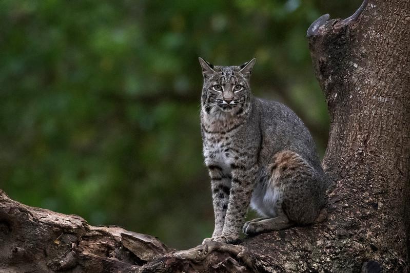 Bobcats 5 - Lynx rufus - Marin County