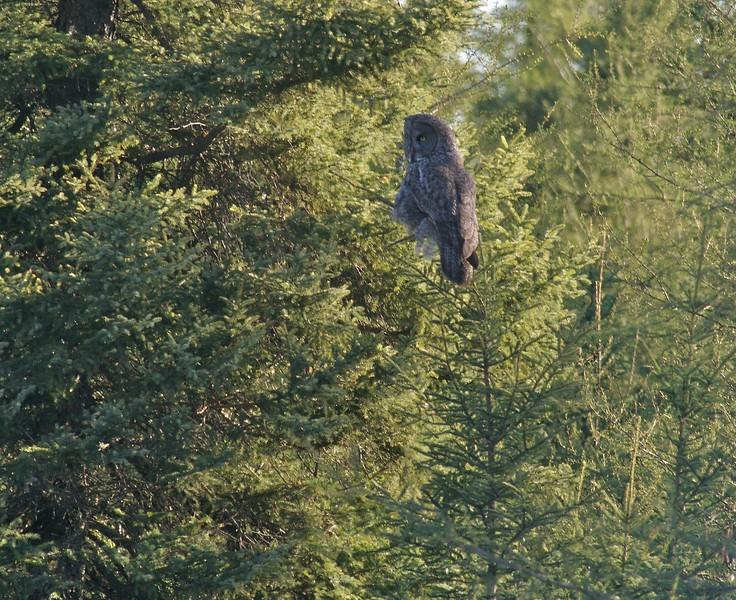Great Gray Owl Sax-Zim IMG_011444.jpg