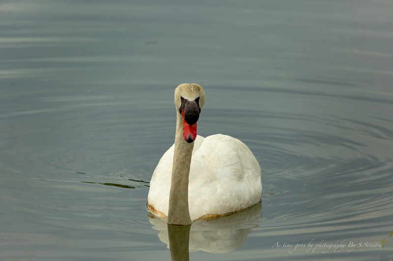 mute swan signed-44.JPG