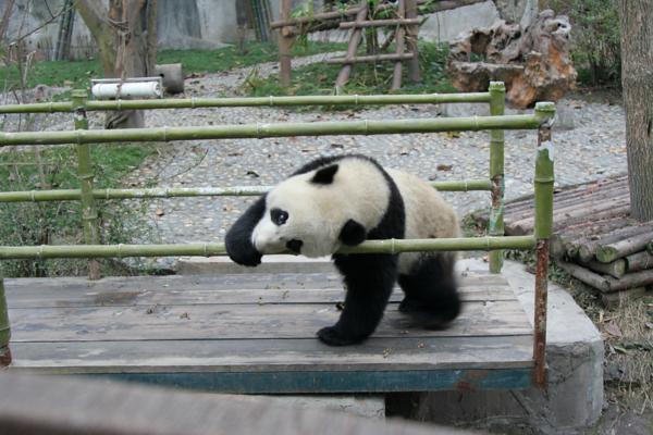2008 PANDA ADOPTION IN CHINA