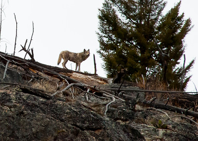 Walking with Junction Butte Grey Wolf