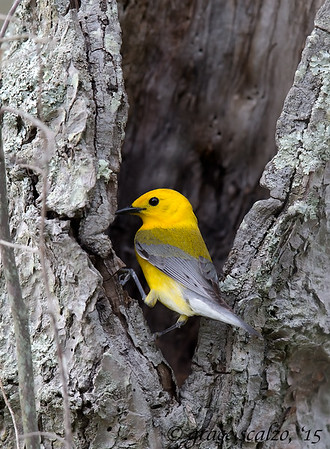 Prothonotary Warblers