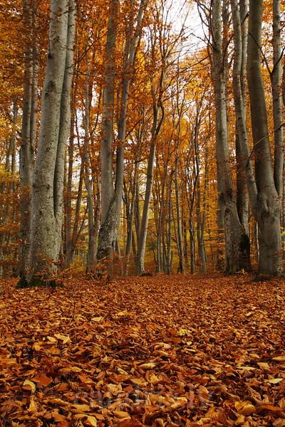 Ironwood forest in autumn near Talsi, Latvia