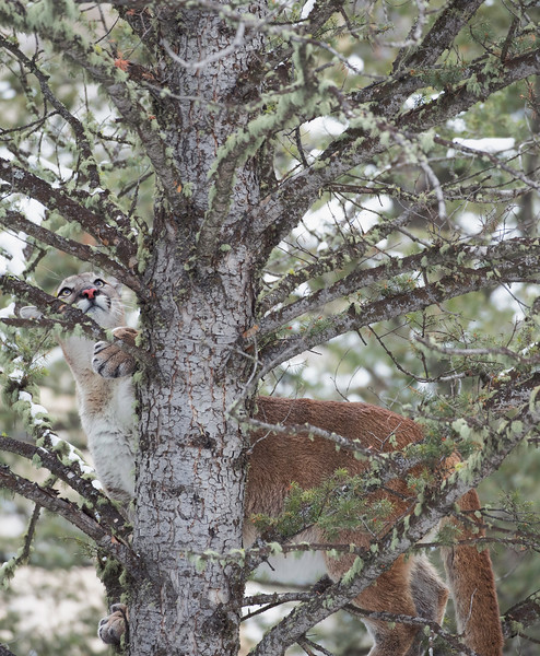 mt lion looking up in tree.jpg