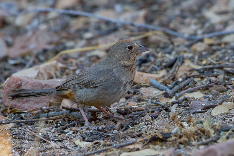 Abert's Towhee - Hereford, AZ, USA
