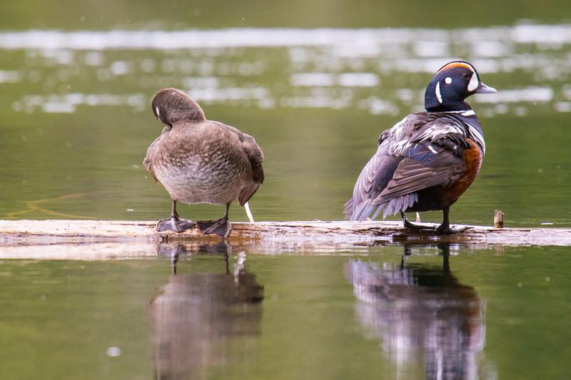 Harlequin Ducks-1.jpg