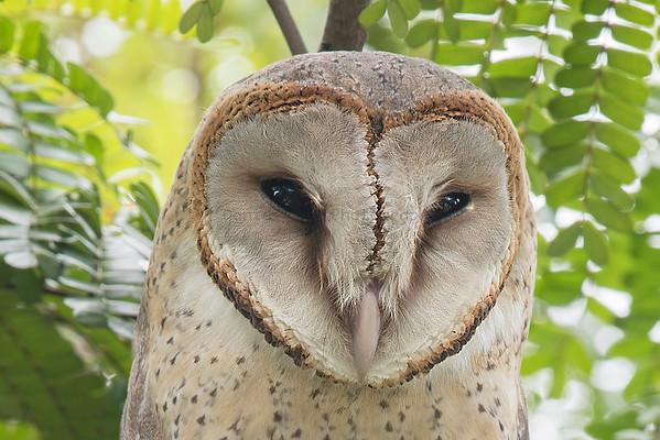 Owls (4 Species)