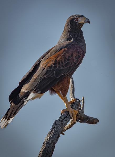 Harris's Hawk on branch