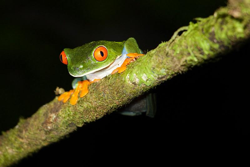 Red Eye Frog-.jpg