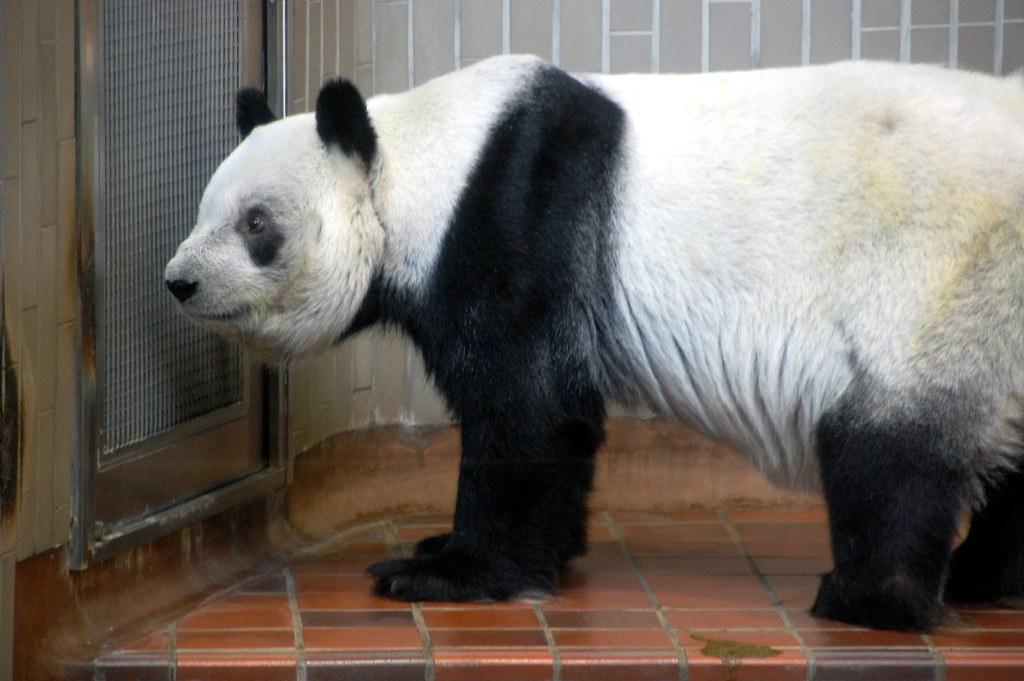 Panda at Ueno Zoo.