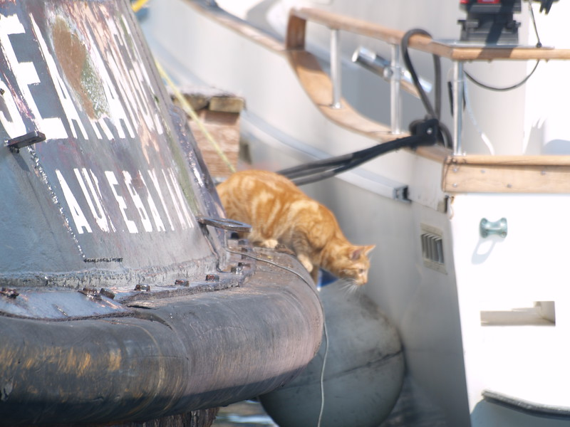 Six - I was told by his owners that this six-toed orange tabby is a Hemingway Cat