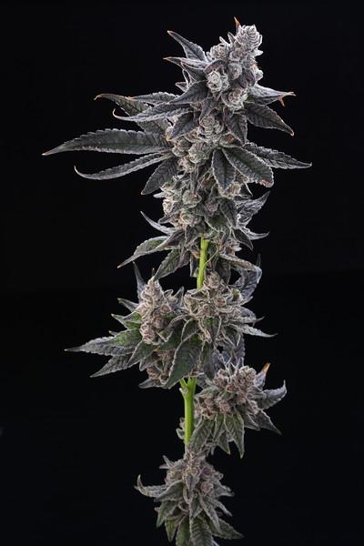flowersmithllc gorilla butter