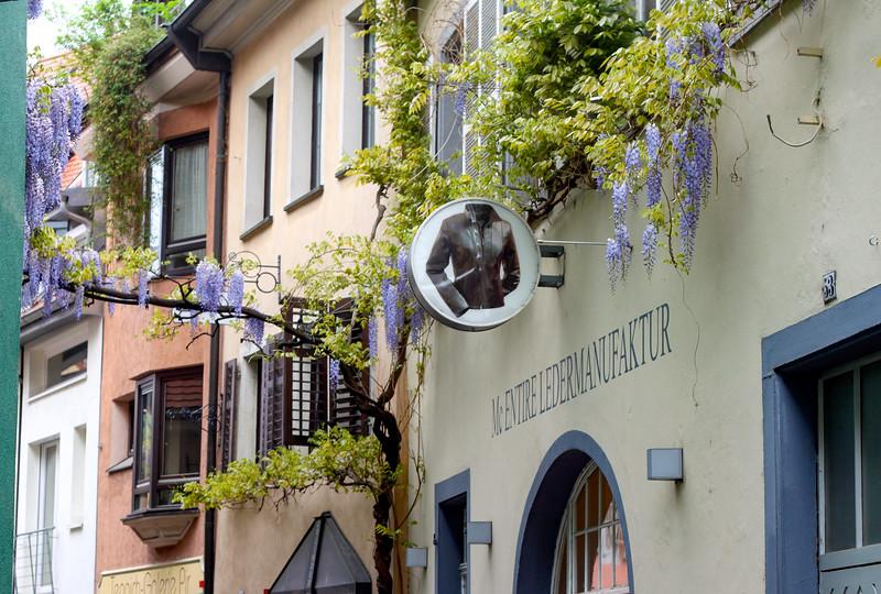 Wisteria vines in Freiburg