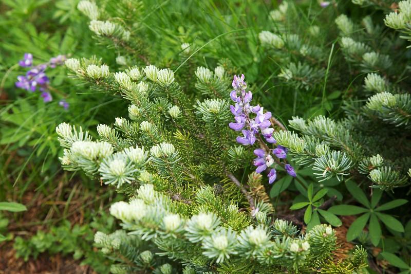 Broadleaf lupine (Lupinus latifolius) growing from under fir tree. Mount Rainier National Park, Washington.