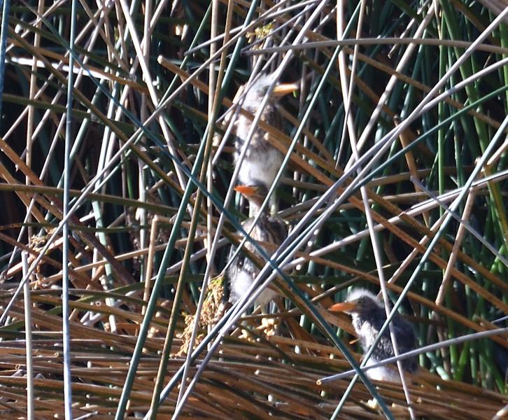 Green Heron nestlings  - 4/24/2019 - Poway Pond