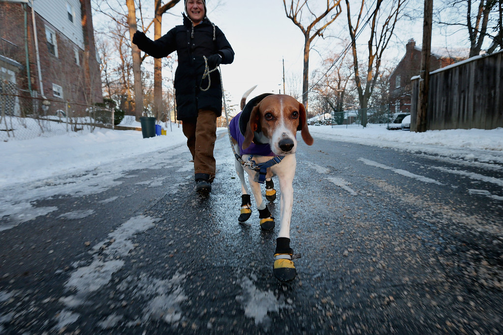 . English foxhound \'Braxton\' wears boots to protect his paws from ice melting chemicals during his morning walk as the temperature hovers in the single-digits Fahrenheit January 22, 2014 in Washington, DC. After four inches of snow fell on some places in the capital area, the federal government delayed the start of the work day by two hours as most schools remained closed.  (Photo by Chip Somodevilla/Getty Images)