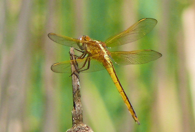 Female Needham's Skimmer
