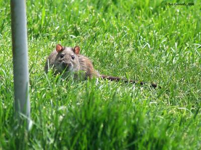Brown (Norway) Rat