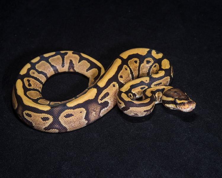 Fire F0115, $50, sold Arlington Reptile Expo