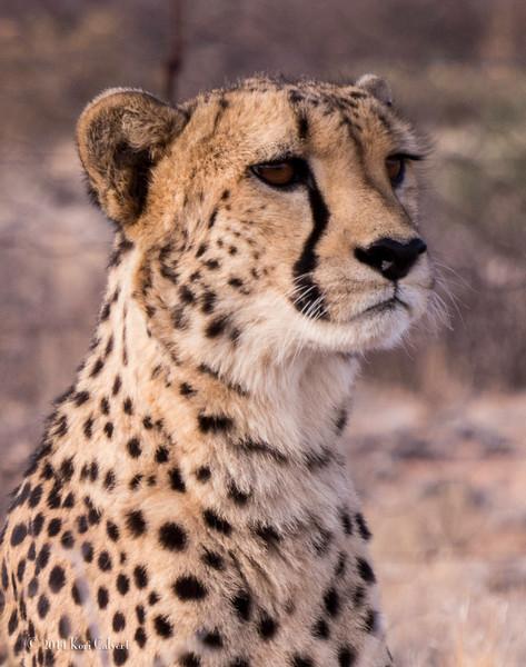 CheetahK-1.jpg