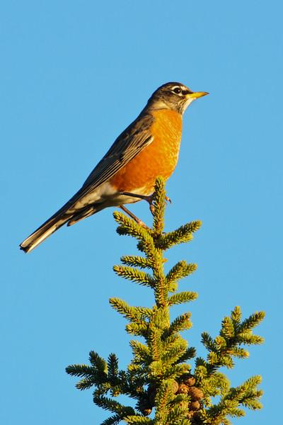 Robin - American - General Grade Road - Lake County, MN