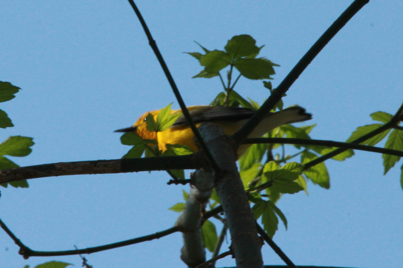 Prothonotary Warbler @ Castlewood SP