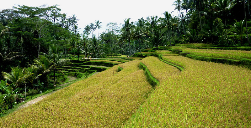 ricefields en route to Gunung Kawi