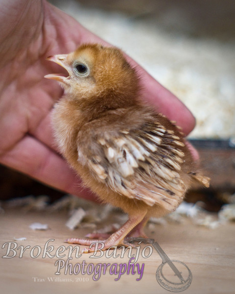 Chicks073high.JPG