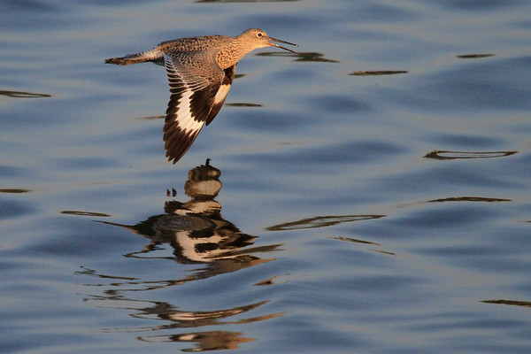 Upper Newport Bay April 2014 - Willets & Wading Birds