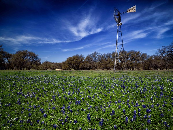 Bluebonnets in the Texas Hill Country near Fredericksburg