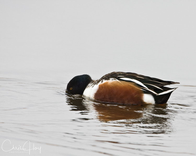 Northern Shoveler Drake at Ridgefield NWR