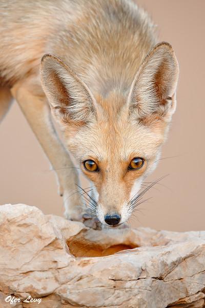 esert Fox 4.jpg