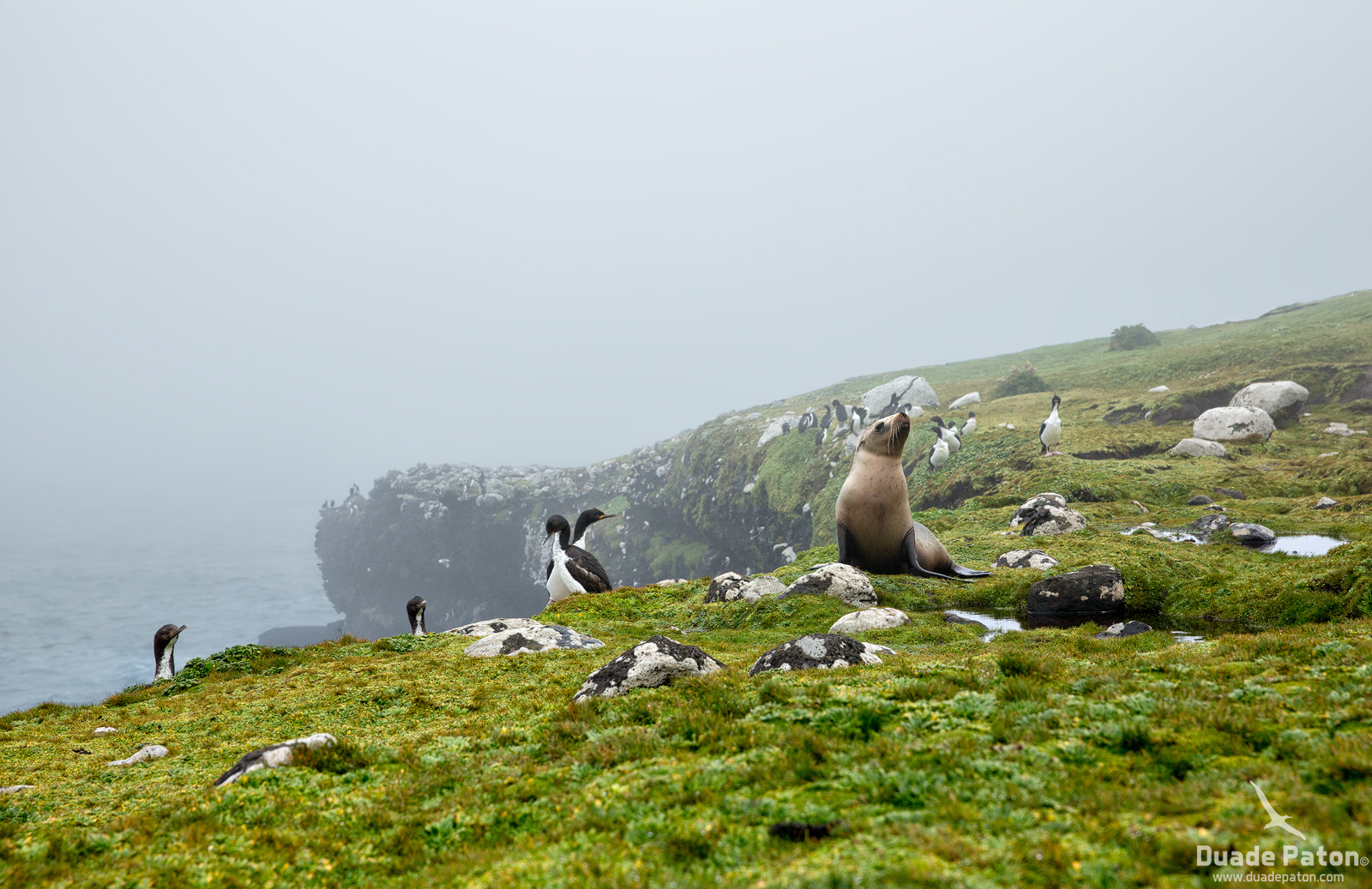 Auckland Island Shags with Hooker's sea lion pup