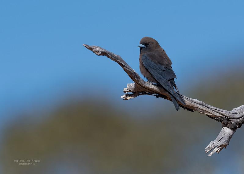 Little Woodswallow, Bowra, Cunnamulla, QLD, Aus, Sept 2017-1.jpg