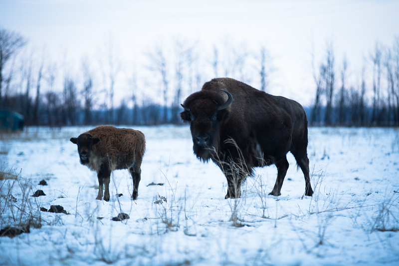 AHP171212_buffalo1382.jpg