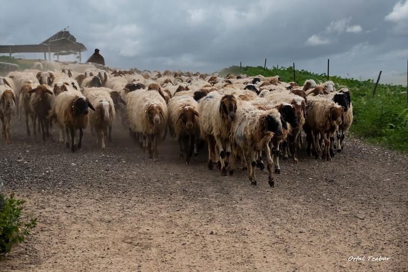הרועה.jpg