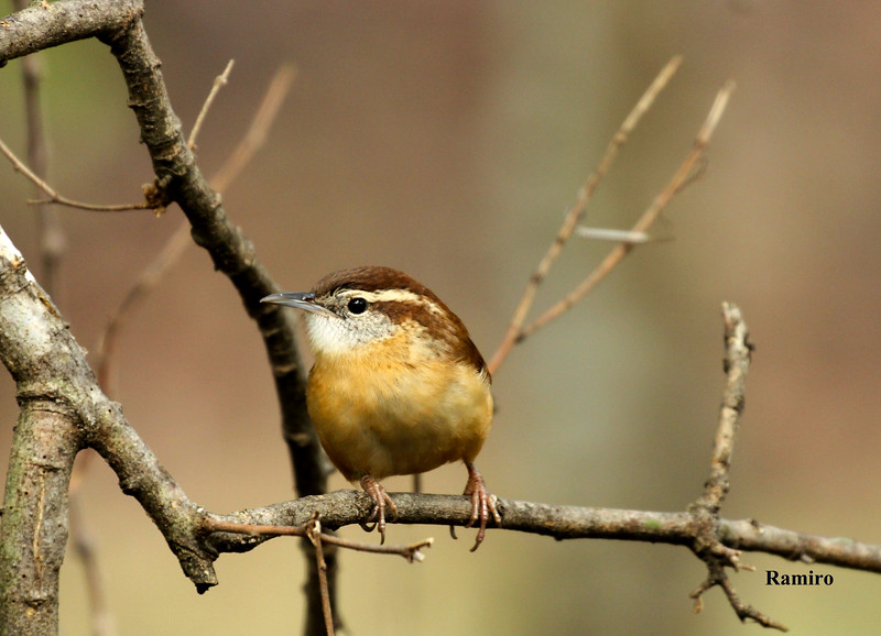 Carolina Wren LBJ Ranch 10-25-15 326.jpg