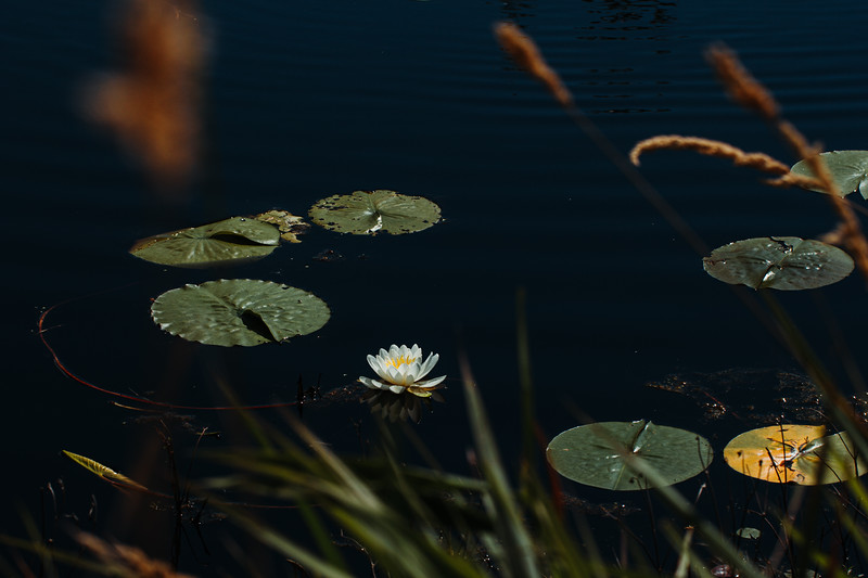 Lilly Floating on a Calm Pond in Minnesota