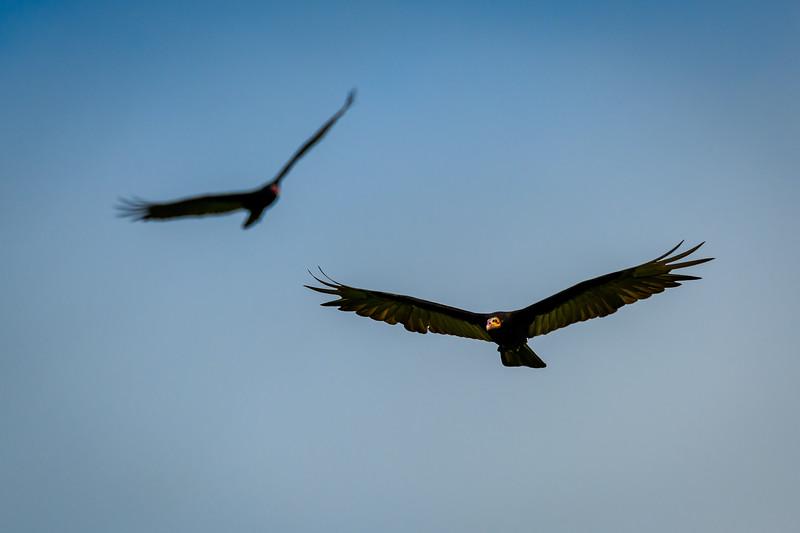 Yellow Headed Vultures.jpg