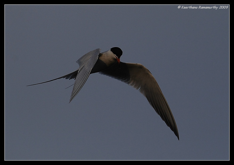 Forster's Tern hovering before the dive, Tijuana River Estuary, San Diego County, California, May 2009