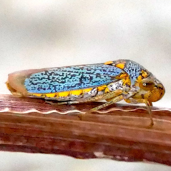 P171OncometopiaOrbona,260 Dec. 14, 2017  7:34 a.m.  P1710260 This blue leafhopper, Oncometopia orbonia, the Broad-headed Sharpshooter is resting on a stem by the woodland stream pond at LBJ WC.   Cicadellid.