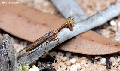 Mantid lacewing  (Mantispidae)