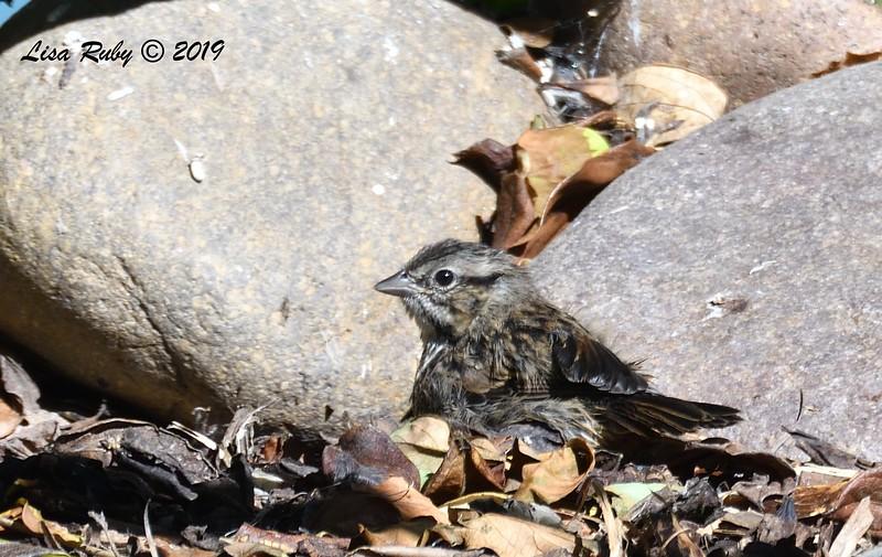 juvenile Song Sparrow - 4/17/2019  - Backyard Sabre Springs