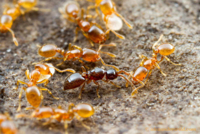 A small inquiline wasp (Diapriidae: Bruesopria) in a nest of its host species, the thief ant Solenopsis molesta.  Konza Prairie, Kansas, USA