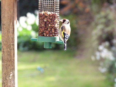Finches_in_Greenshill_Kilkenny