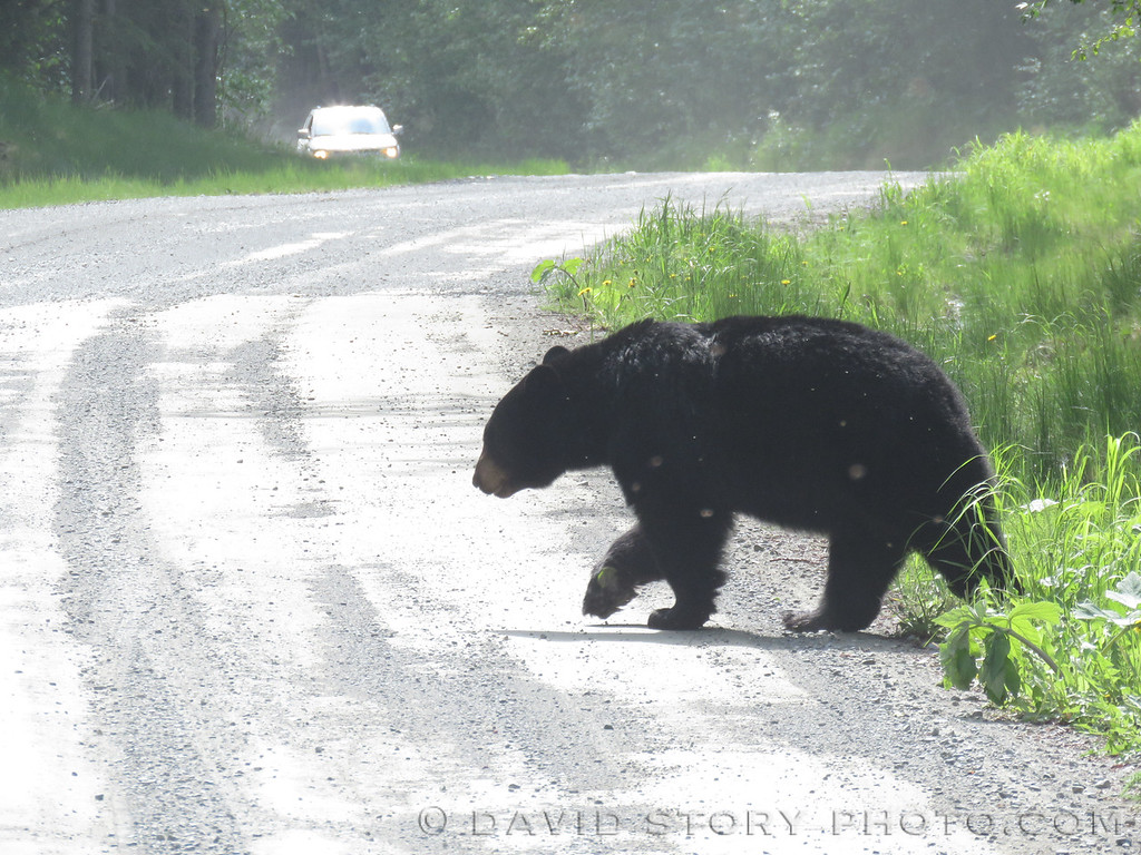 A black bear (Ursus americanus) moving slow in uncharacteristic heat on the Kenai Peninsula.