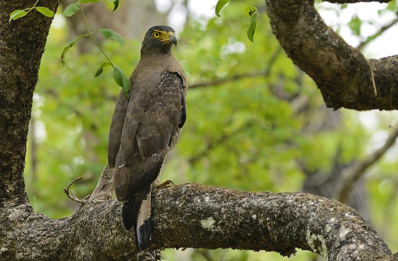 Crested-Serpent-Eagle-03.jpg