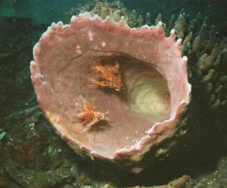 Lionfish in a barrel sponge.