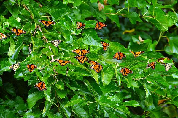 Monarch Butterflies Wendy Park Cleveland Oh 9-11-2018