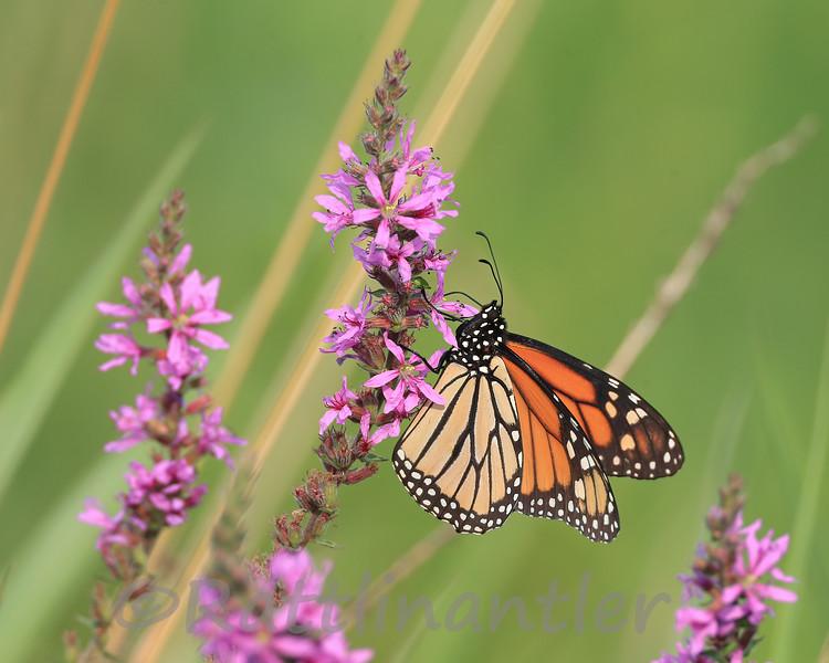 Monarch on Purple Loosestrife